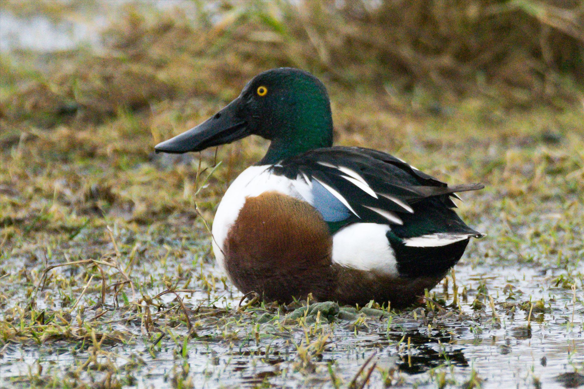 Shoveler taken at North Gare, Seaton - Shoveler taken at North Gare, Seaton by AJ Stoves Photography