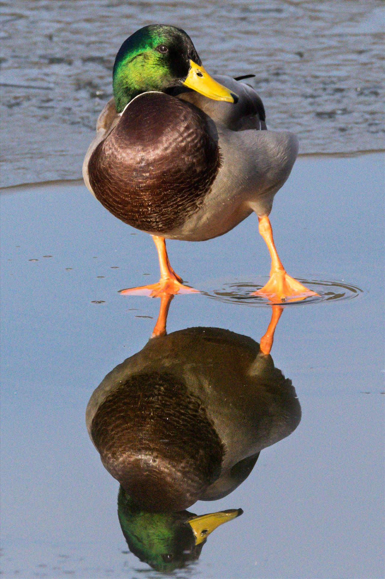 Mallard Duck Reflection RSPB Slatholme - A cold and frozen pond at RSPB Saltholme taken November 2017 by AJ Stoves Photography