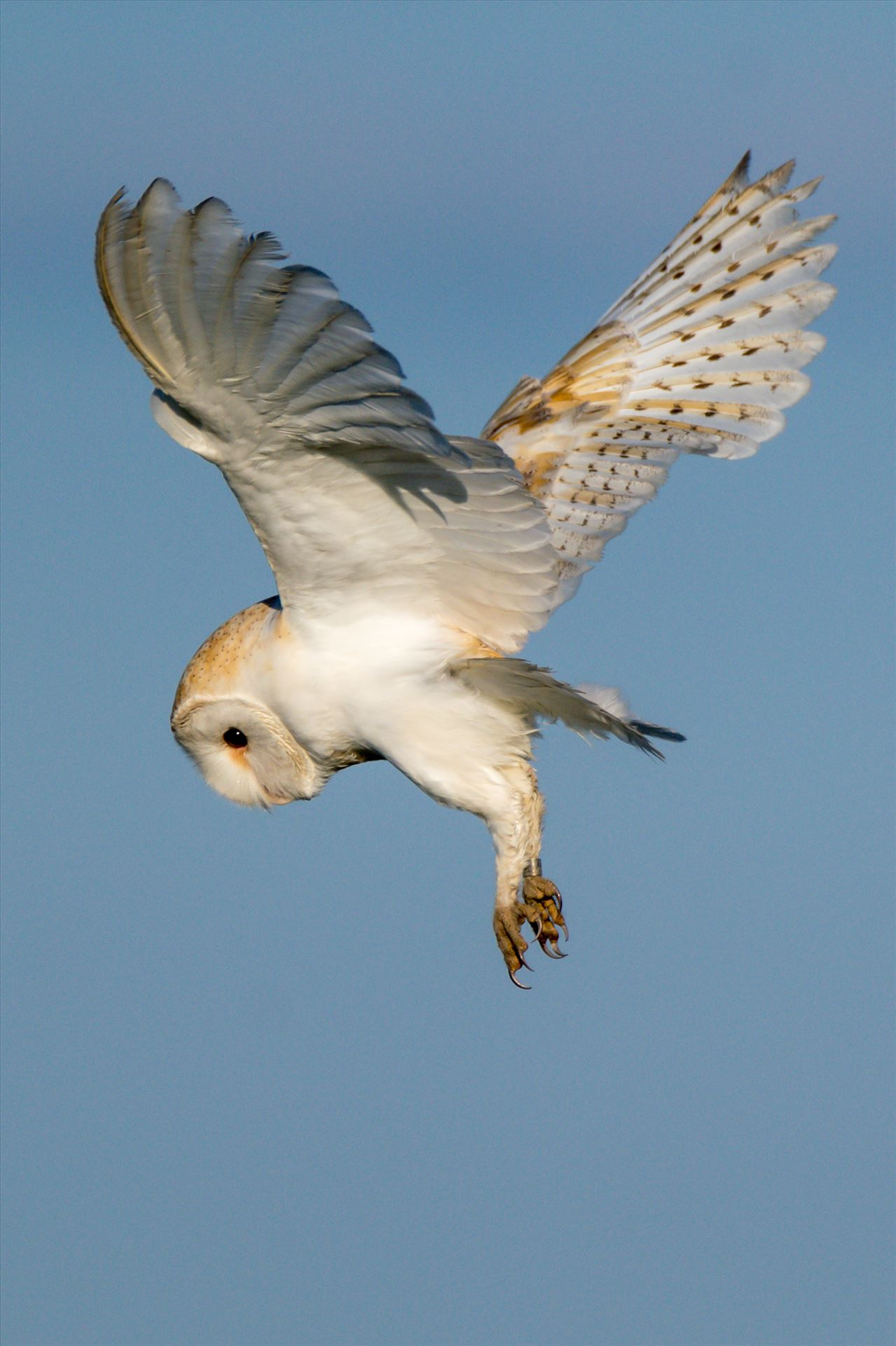 Barn Owl on the hunt 02 - A Barn Owl on the hunt for its breakfast by AJ Stoves Photography