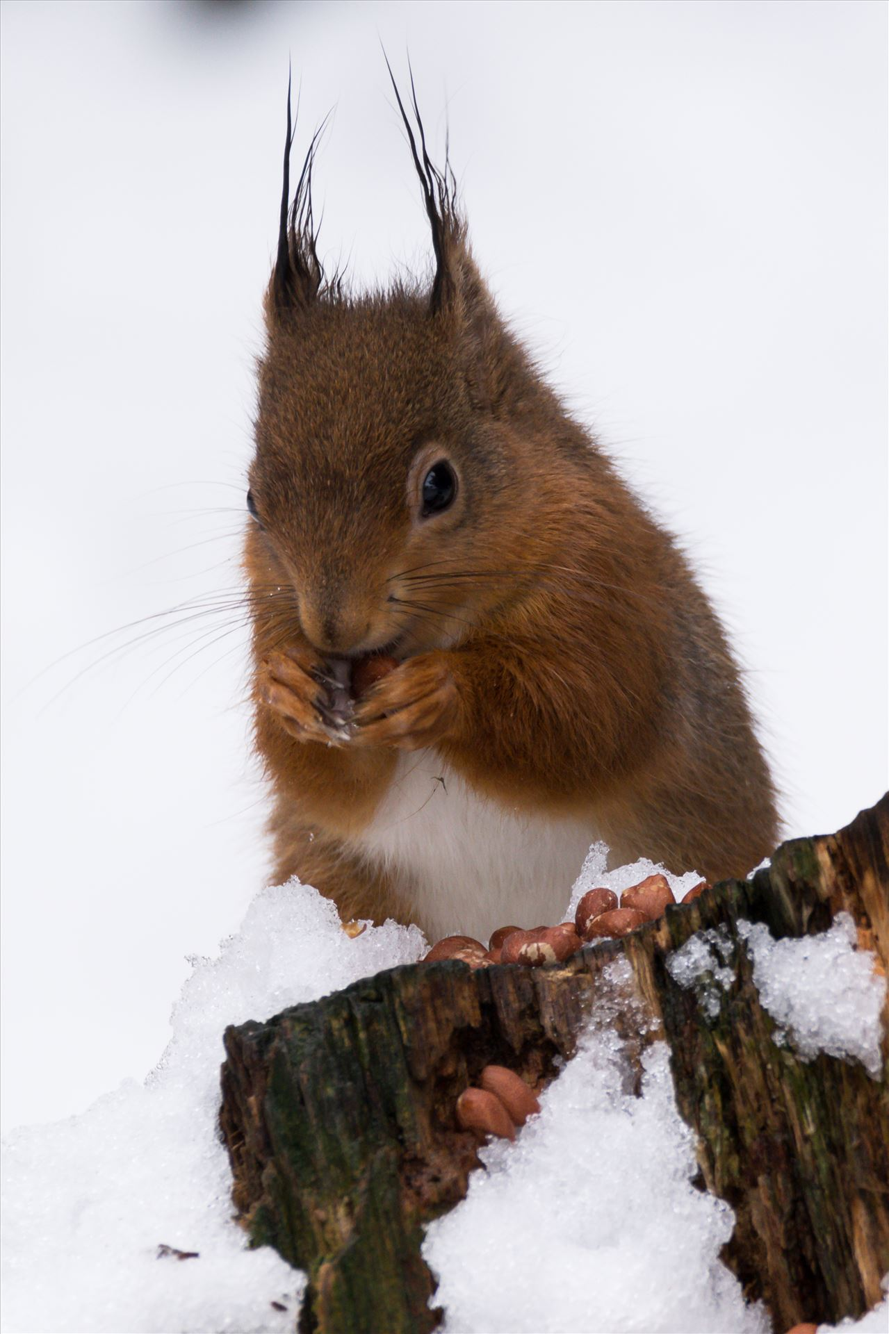 Red Squirrel in the Snow - Red Squirrel, taken at Pow Hill March 2018, after The Beast from the East hit by AJ Stoves Photography