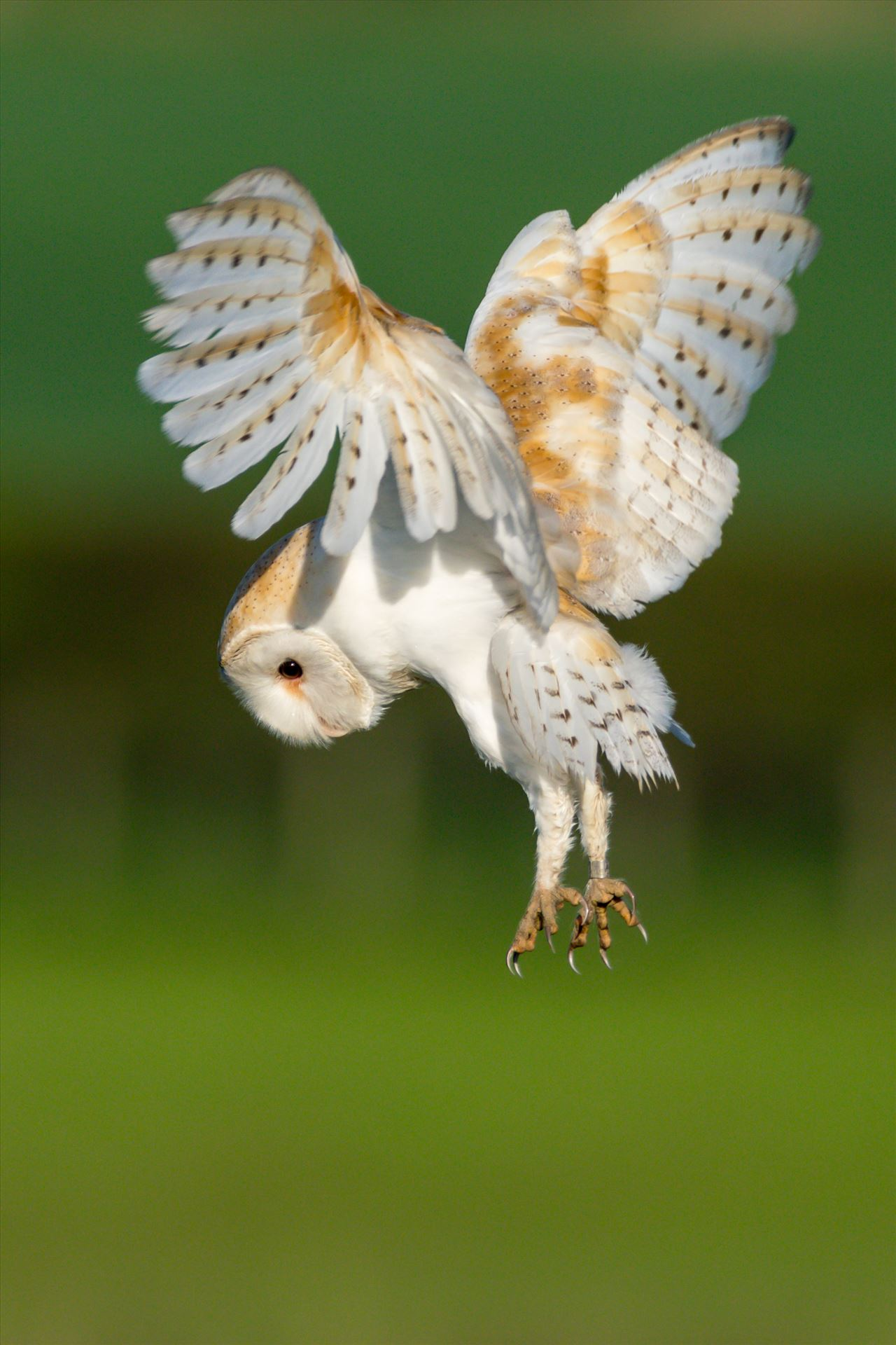 Barn Owl on the hunt 01 - A Barn Owl on the hunt for its breakfast by AJ Stoves Photography