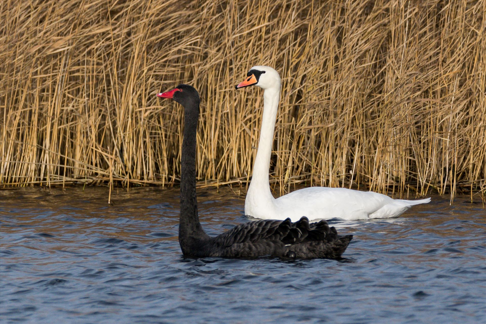 Black and White Swan RSPB Saltholme - Black and White Swans, hardly ever see them together, taken at RSPB Saltholme by AJ Stoves Photography