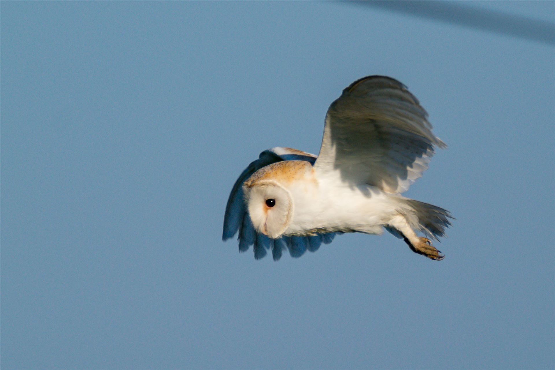 Barn Owl on the hunt 03 - A Barn Owl on the hunt for its breakfast by AJ Stoves Photography