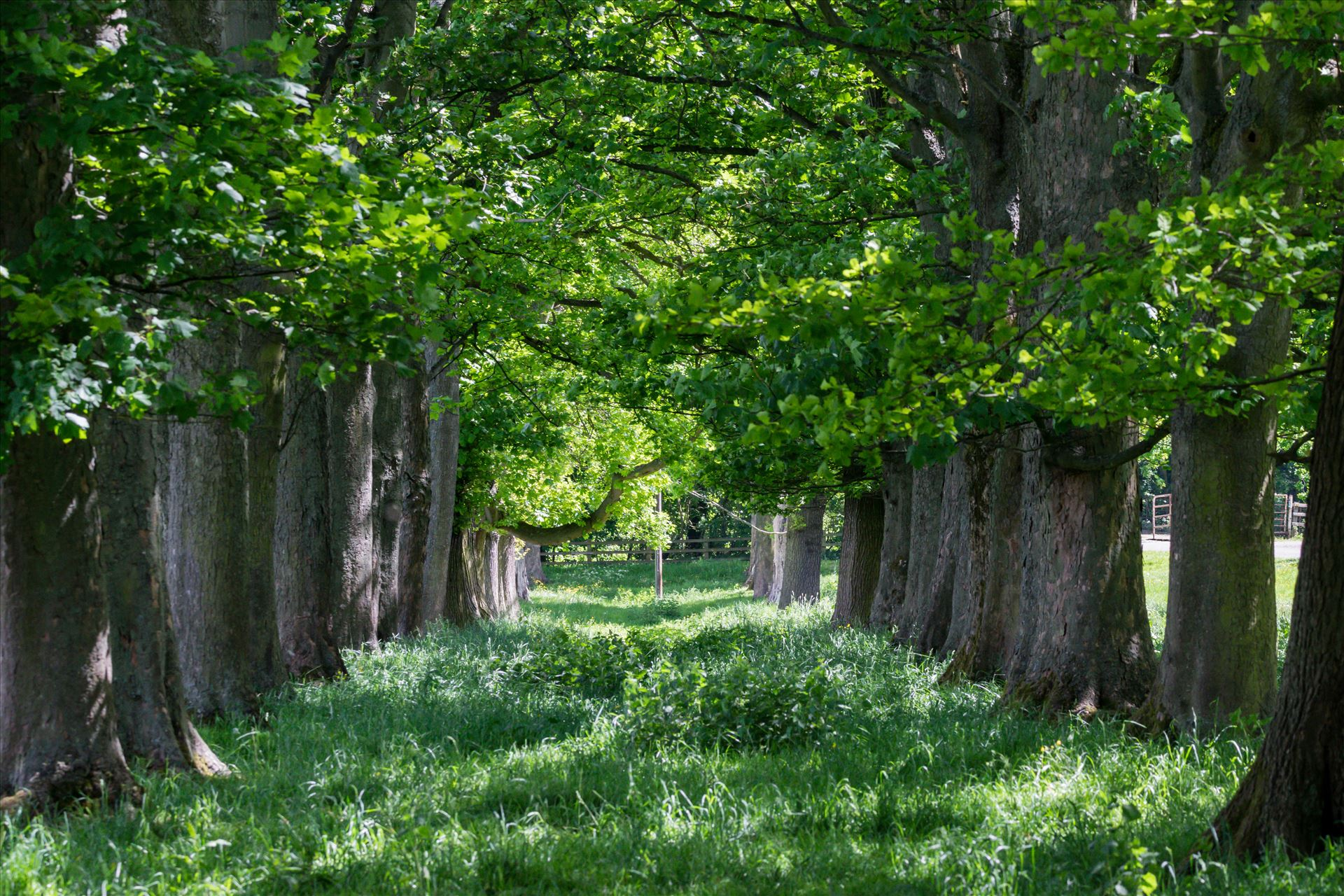 Summer Avenue of Tree\'s - An Avenue of tree's taken in the summer of 2017 by AJ Stoves Photography