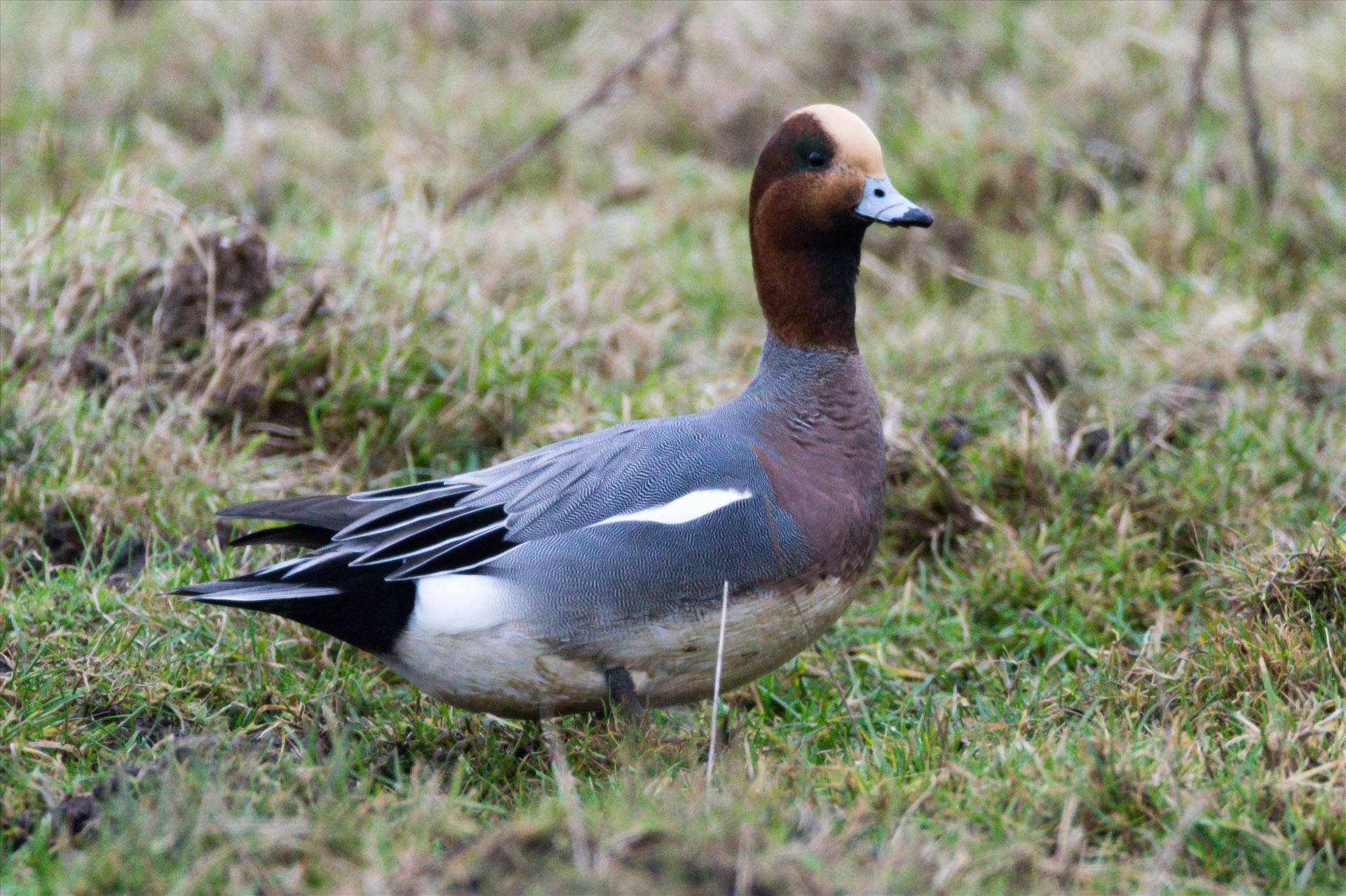 Wigeon, Taken at North Gare, Seaton - A Wigeon taken at North Gare, Seaton by AJ Stoves Photography