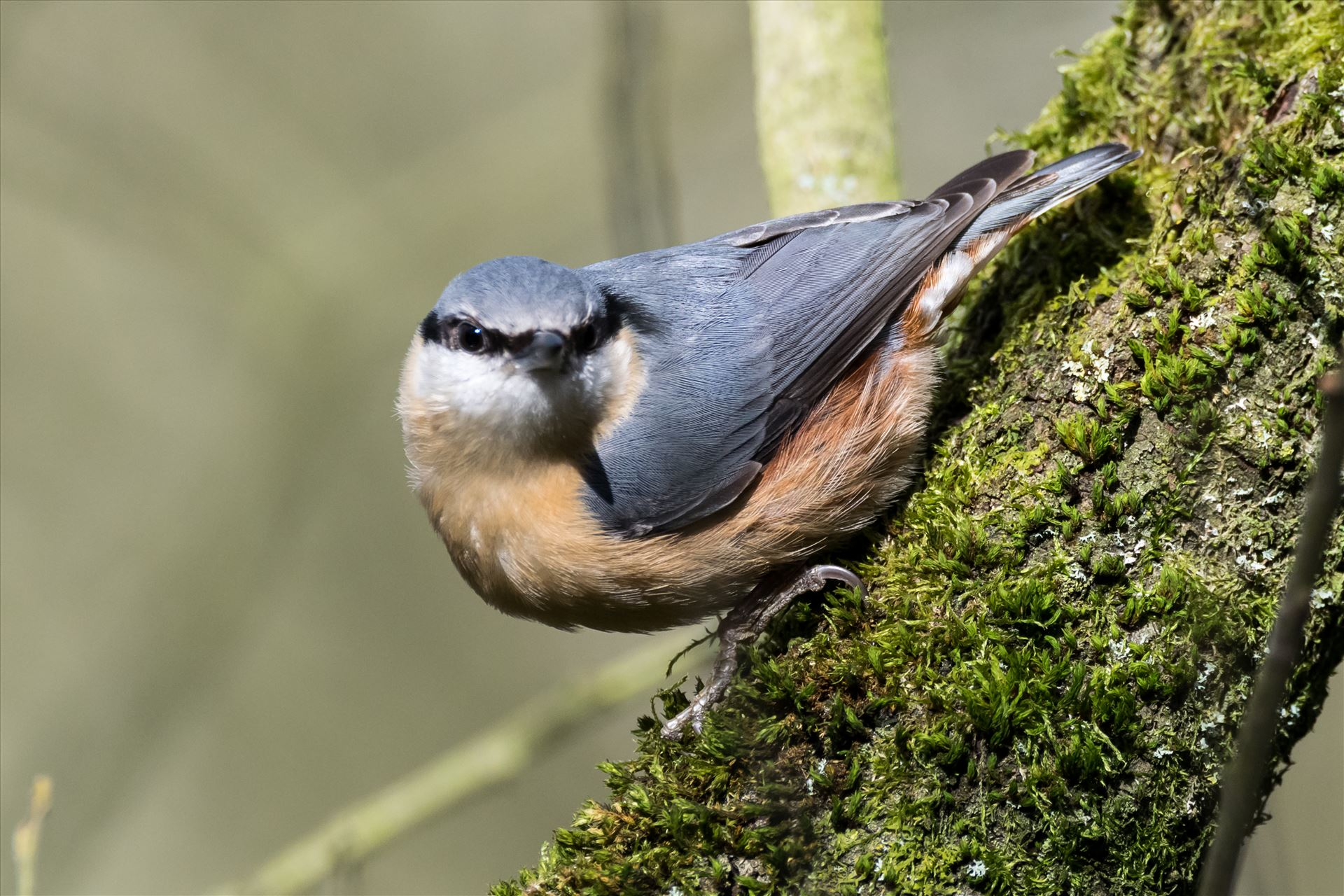 Nut Hatch - One of my favorite birds to photograph, thats if they stay still long enough by AJ Stoves Photography