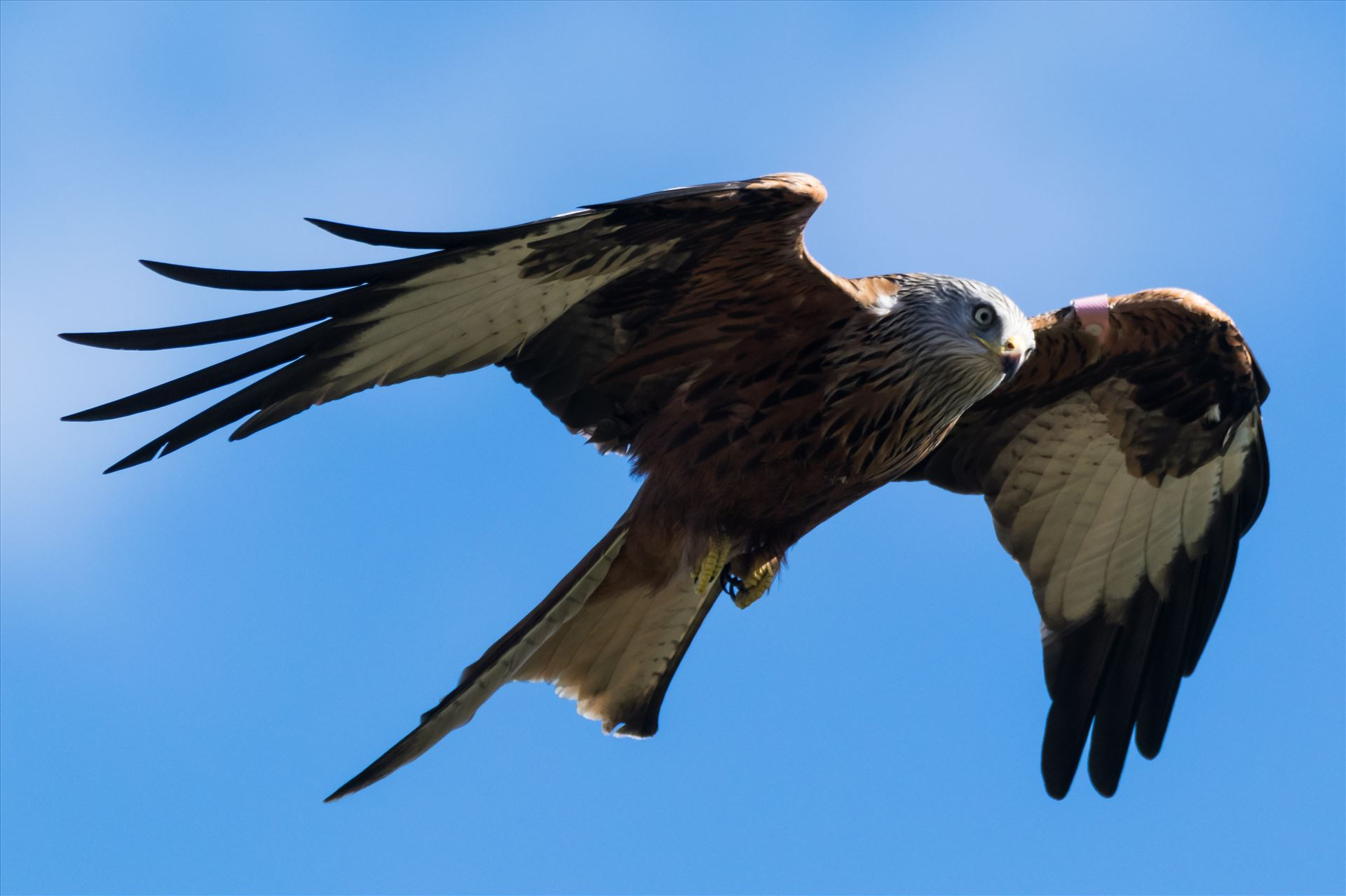 Red Kite on the Wind - A red Kite on the Wind, taken at Far Pastures in 2017 by AJ Stoves Photography
