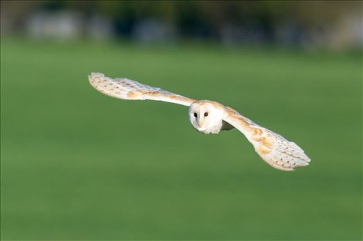 A Barn Owl on the hunt for its breakfast