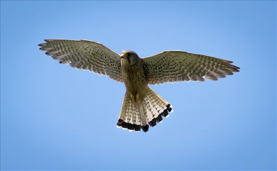 Came out of one of the hides at RSPB Salyholme and this beauty was hovering just above me.