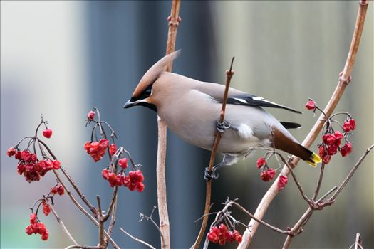 A winter visiter, Waxwing, taken in January 2017 at RSPB Saltholme