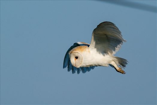 Preview of Barn Owl on the hunt 03