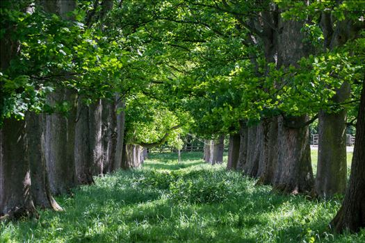 Preview of Summer Avenue of Trees