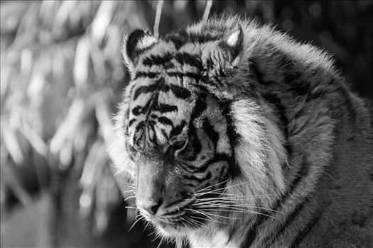 Taken at South Lakes Safari Zoo in 2016, have to say I do like a Tiger shot or two